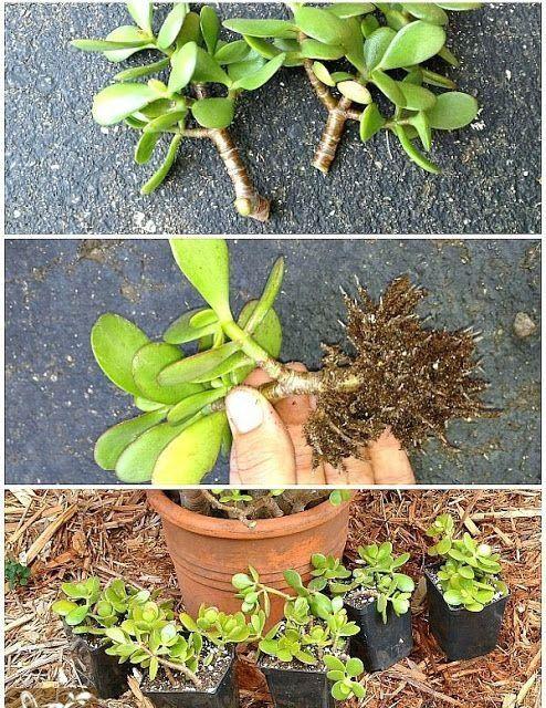 Jade plant to attract money | 1000 in 2020 | Jade plants ...