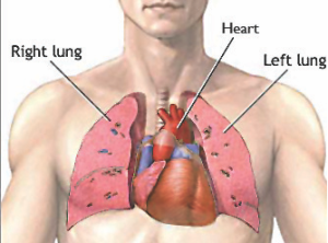 Human body with lungs and heart my gallery and articles directory human body with lungs and heart my gallery and articles directory ccuart