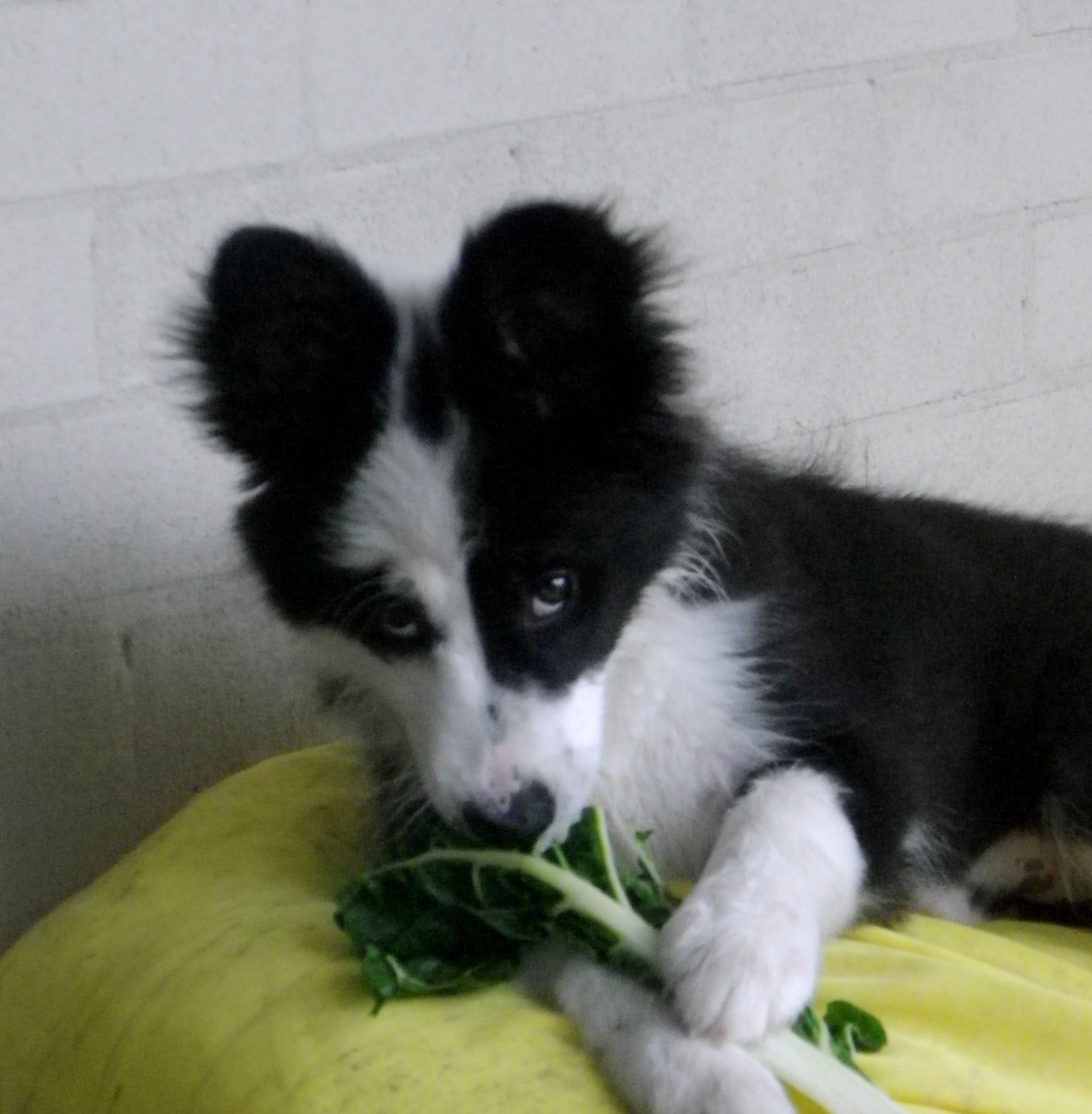our Border Collie likes green leaves be it spinach or lettuce