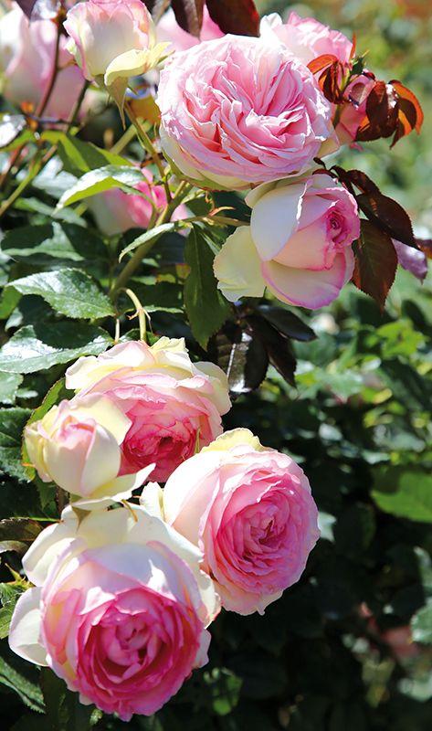 Die Strauchrose u0027Eden Rose 85u0027 ist trägt den Charme der Englischen