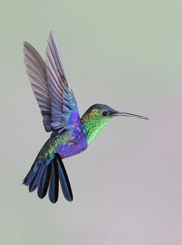 Hummingbird Addiction. Crowned Woodnymph hovering.  Canopy Lodge, Panama.  Image Copyright 2007:  Linda Robbins.