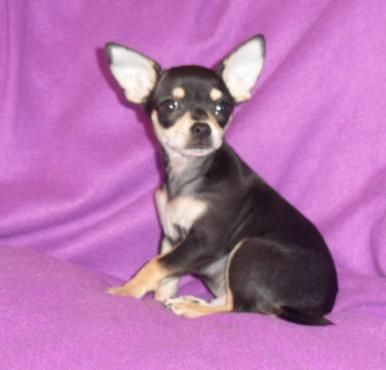 Litter Of 5 Chihuahua Puppies For Sale In Beebe Ar Adn 23981 On