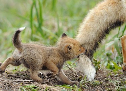 Baby fox hanging onto Mom