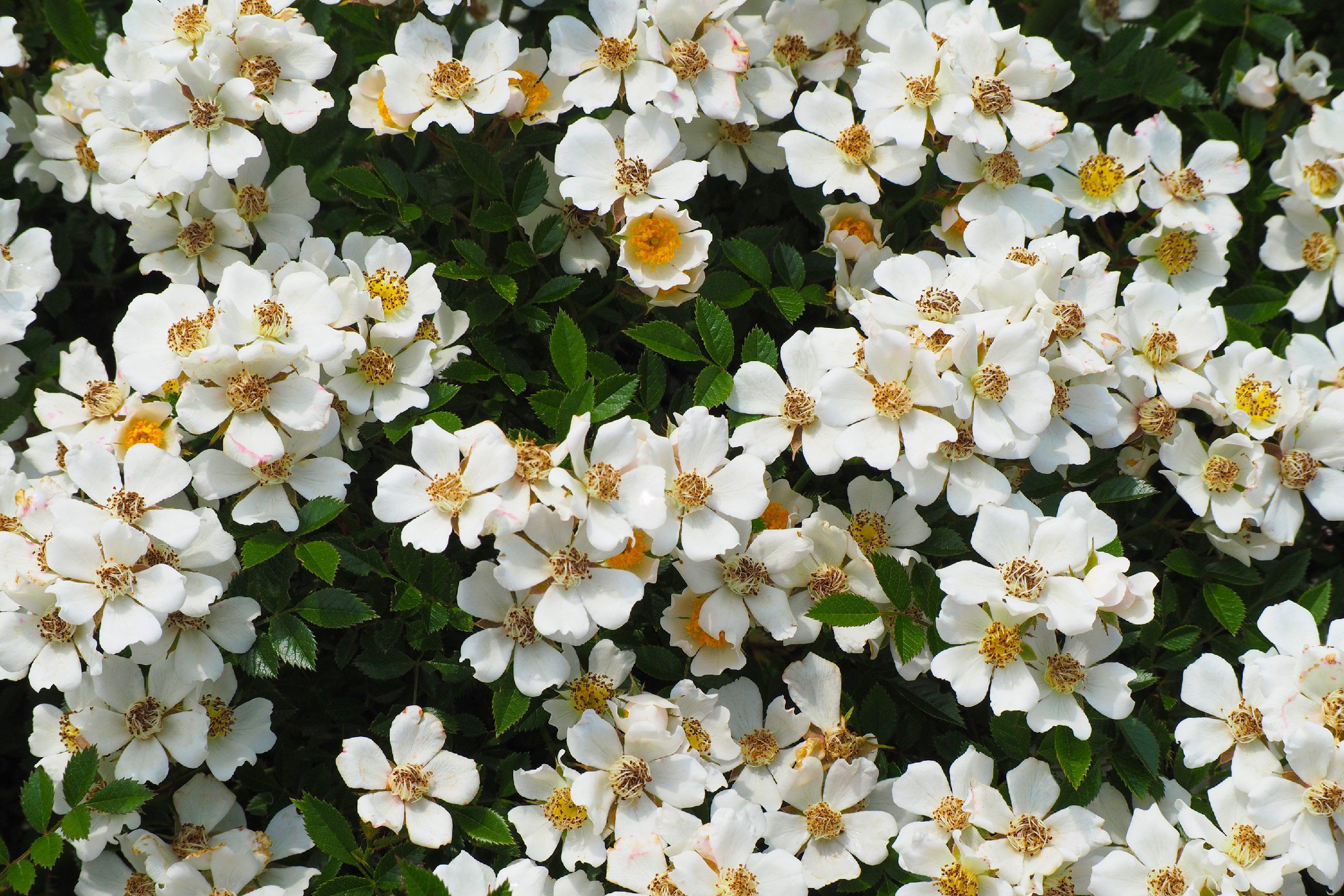 Gallery No.7 Rosa Moschata is free HD wallpaper.