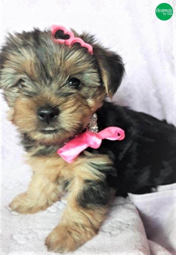 Alguns anúncios de hoje Raça Yorkshire Terrier
