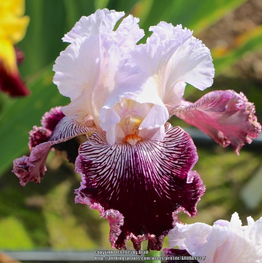 Photo Of Tall Bearded Iris Iris Samba Queen Uploaded By Aruba1334 Iris Flowers Flower Garden Plants Iris Garden