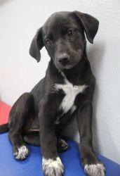 Adopt Weim Mix Puppies Black Females