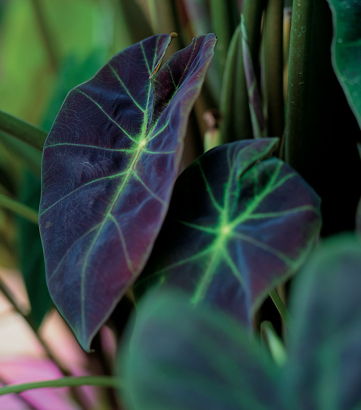 Primarily Grown For Its Spectacular Foliage Colocasia Esculenta Illustris Taro Is A Tuberous Frost Tender Pere In 2020 Elephant Ear Plant Elephant Ears Colocasia