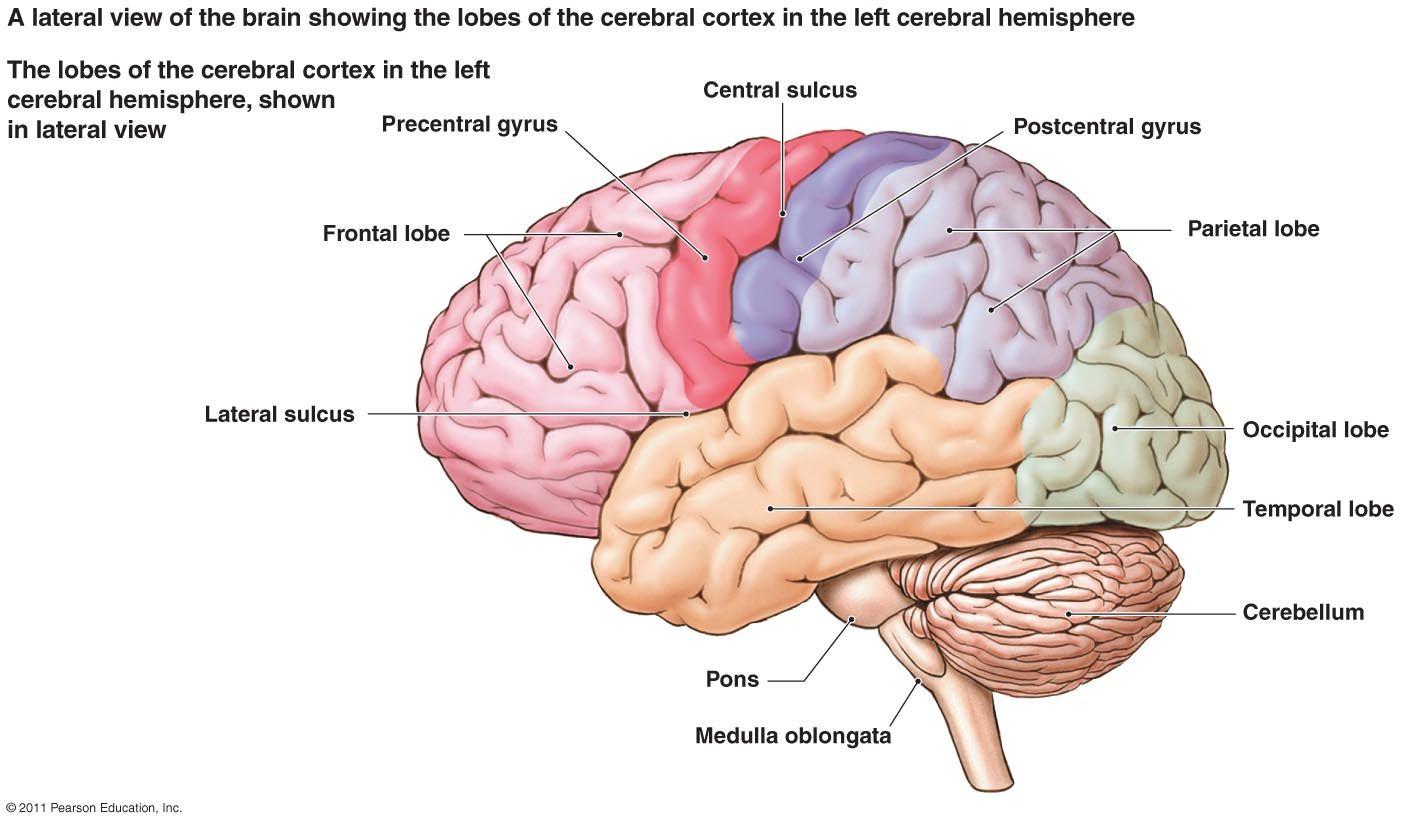 Labeled Diagram Of The Human Brain Human Anatomy Drawing Brain