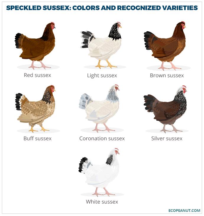 Art print POSTER Sussex Speckled Hen