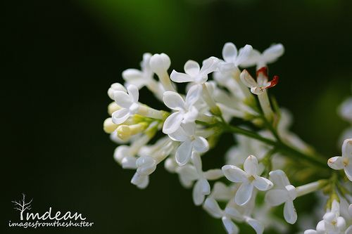 White Lilacs - not as fragrant, but, just as beautiful