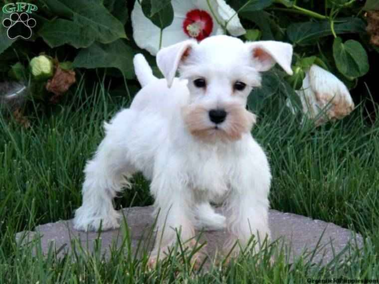Schnauzer Mixed With Maltese