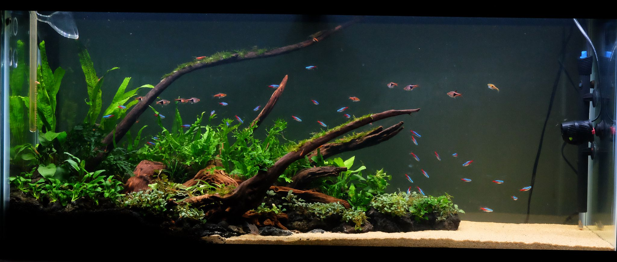Low tech tank show and tell low tech can be lush too for Planted tank fish