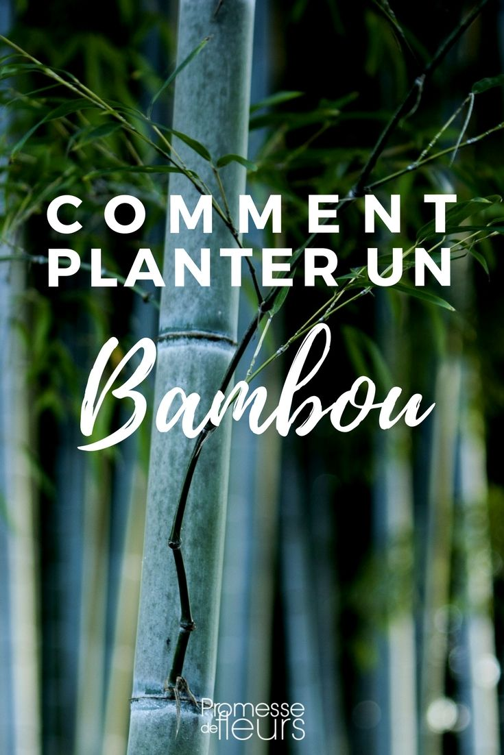 bambou une plantation r ussie en 4 tapes astuce maison jardinage pinterest jardins. Black Bedroom Furniture Sets. Home Design Ideas