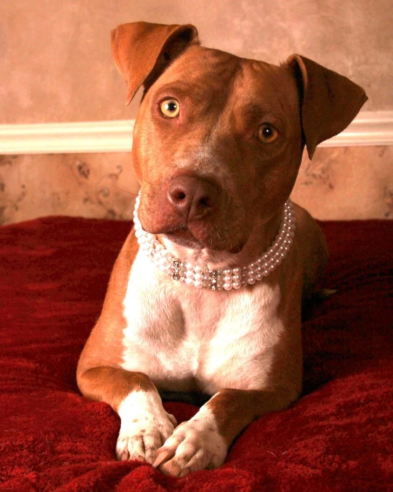 Adopt Scully On Pitbull Terrier Bull Terrier Mix Cute Puppies