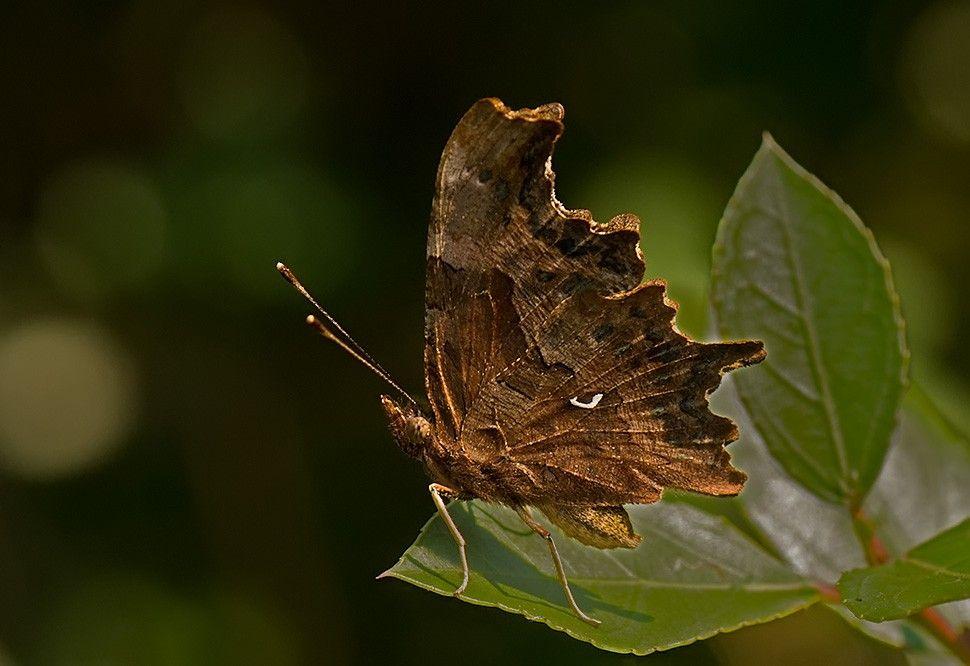 Moderno Mariposa Hoja Metamorfosis Festooning - hojas de trabajo ...