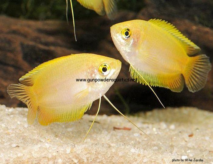 Gold Honey Dwarf Gourami Trichogaster Chuna Fish Tank Plants Fresh Water Fish Tank Aquarium Fish