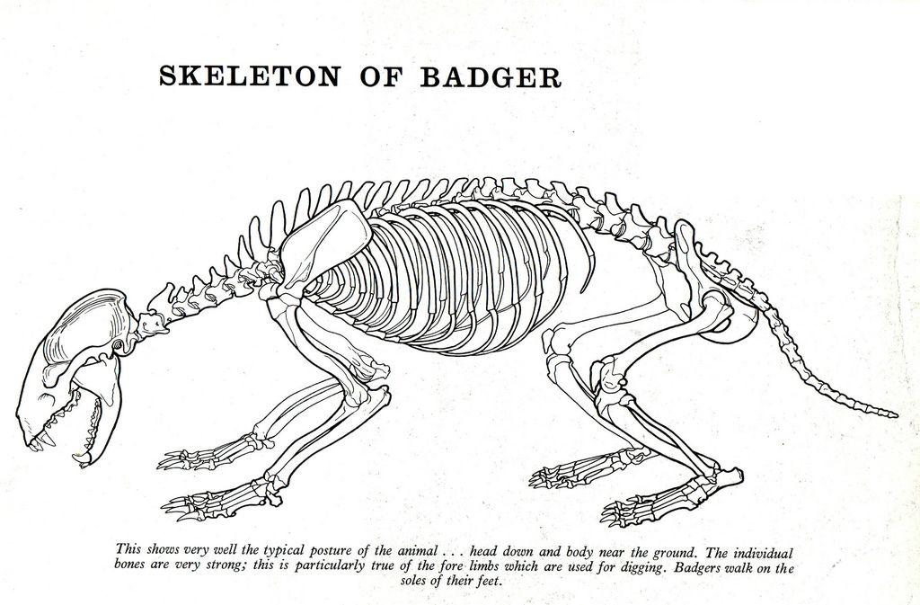 badger skeleton  Google Search | Final Drawing | Skeleton