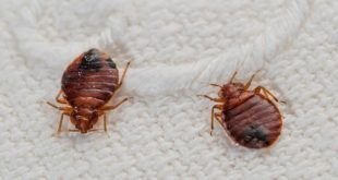 Home Remedies To Get Rid Of Bed Bugs Naturally Bed Bug Bites Bed Bugs Treatment Kill Bed Bugs