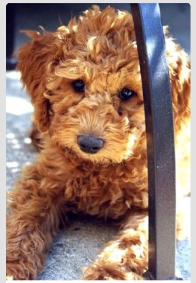 Australian Labradoodles And Children With Autism Http Www Australian Labradoodles Labradoodle Puppy Australian Labradoodle Australian Labradoodle Puppies