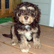 Chocolate Phantom Cockapoo Yorkshire Terrier Puppies Phantom Poodle Puppies