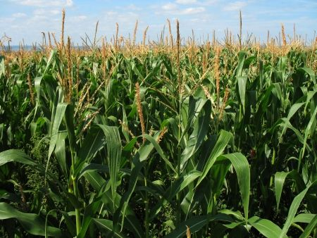 7 Reasons to Grow Corn in a Survival Garden --Posted on Thursday, June 12, 2014 by Thoreau