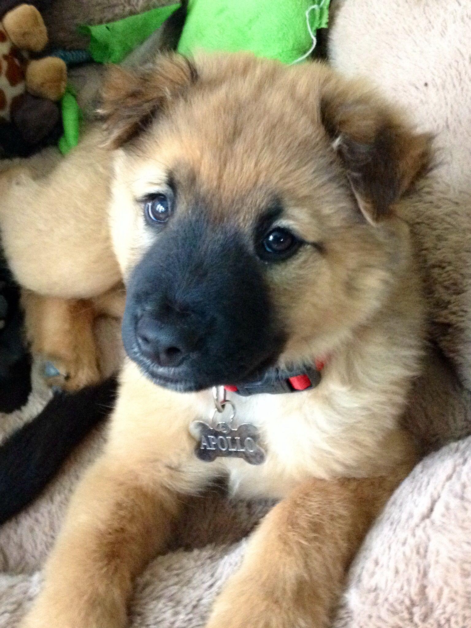 Malinois Mix Puppy Dogs German Shepherd Mix Puppies Dog