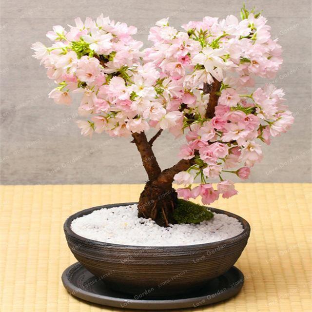 Giant Pink Sakura Cherry Blossom Tree Seed 5 Seeds Pack Very Beautiful Oriental Cherry Tree Perennial Shrub Plant Planting Shrubs Tree Seeds Perennial Shrubs