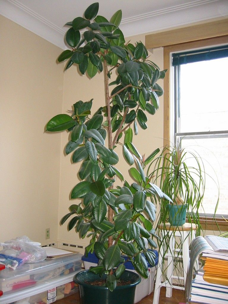 Tips On How To Prune A Rubber Tree Propagate