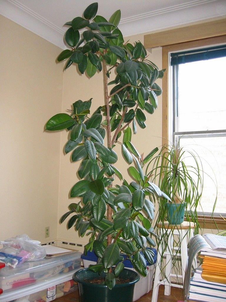 Rubber Tree Care