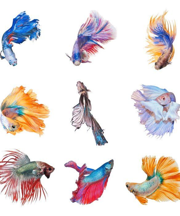 10 cool facts about betta fish small pets tips advice for Small pet fish