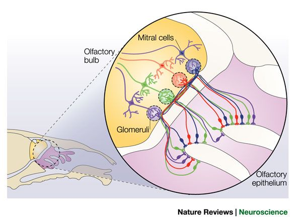 Smell receptors connect to glomeruli in the olfactory bulb ...