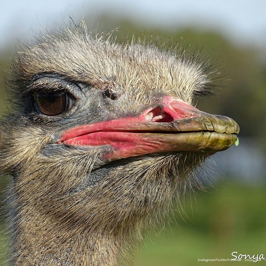 somali ostrich marsabit district ngurunit kenya by eric