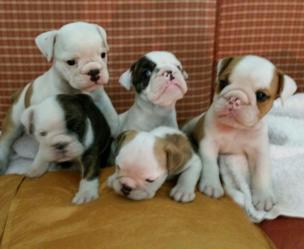 English Bulldog Puppies So Precious At Only 1 Month Old