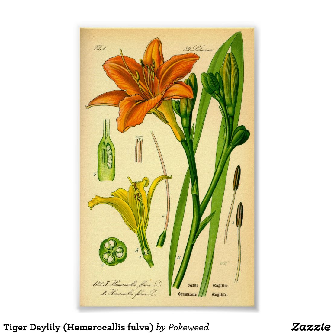 Tiger Daylily (Hemerocallis fulva) Poster | Zazzle.com