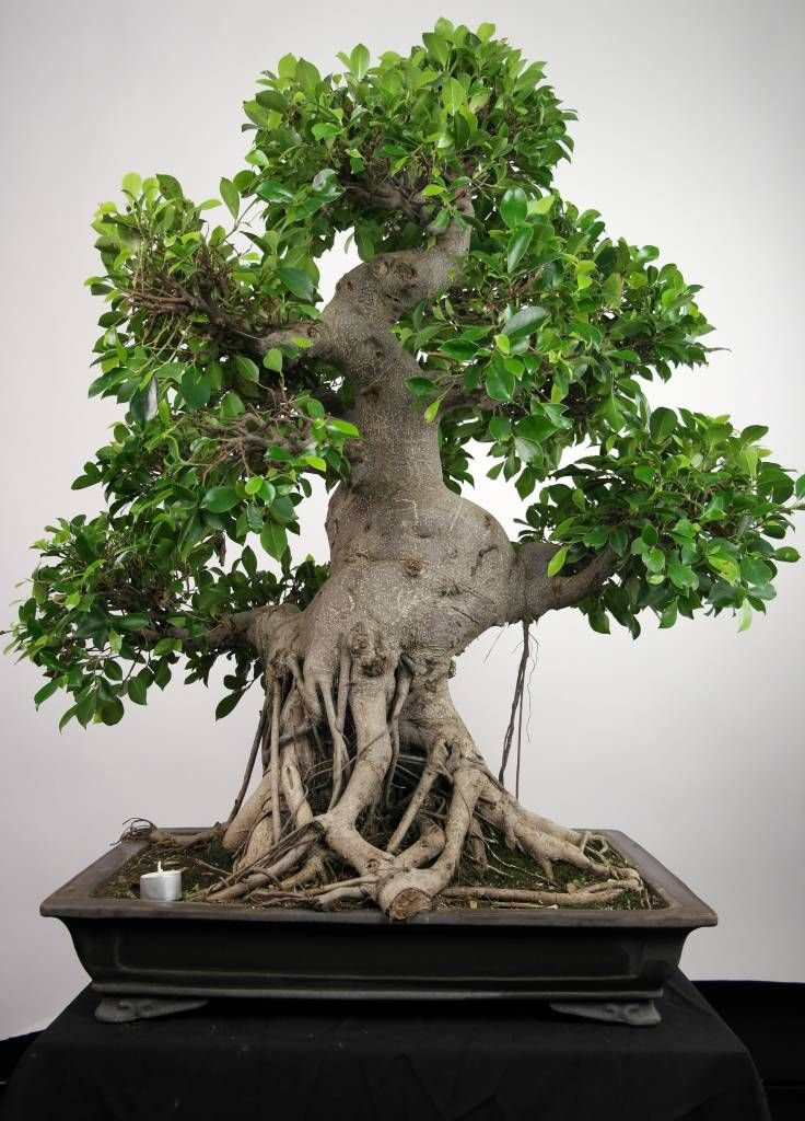 A Old Ficus Bonsai Tree Check Out The Exposed Roots Bonsai Trees More At Fosterginger Pinterest Ficus Bonsai Tree Bonsai Tree Types Indoor Bonsai Tree