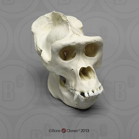 Male Western Lowland Gorilla Skull | Monkeys | Pinterest