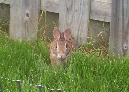 How to repel rabbits in the garden place 2 tablespoons of - How to deter rabbits from garden ...