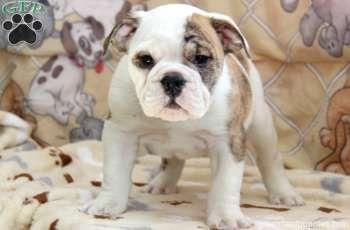 Jeremy English Bulldog Puppy For Sale From Narvon Pa Bulldog