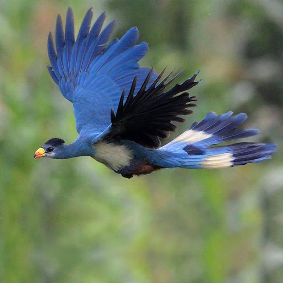 Great Blue Turaco (Corythaeola cristata) in flight. In Uganda
