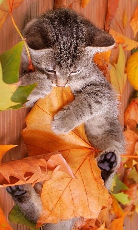Autumn Fall Kitty And Leaves Iphone Wallpaper