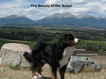 Beauty Of The Breed Bernese Mountain Dog Big Dogs