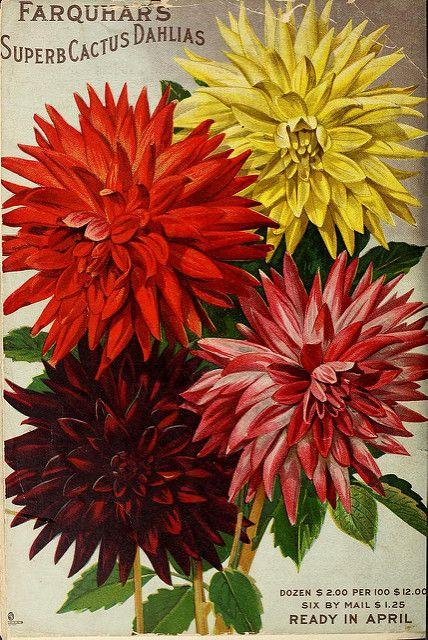 Dahlia Cactus Flowered R J Farquhar Co 1904 Flower Seeds Packets Flower Seeds Garden Labels