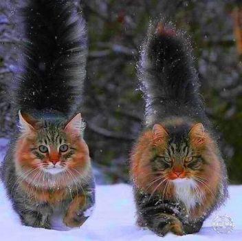 Siberian Cats 36 Pieces Gatos Raros Gatos Bonitos Gatos