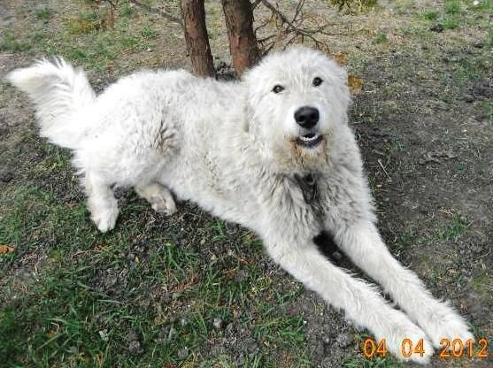 Berci Komondor Kuvasz Mix Dogs Animal Komomnder Komondor