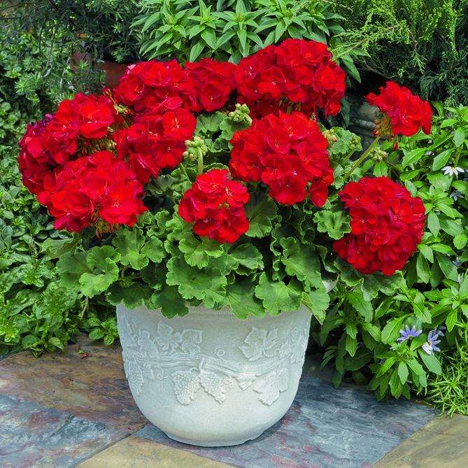 Deep Red - Americana Geranium | Container gardening flowers, Red geraniums, Geraniums