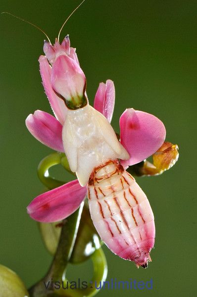 Bird S Nest Orchid Neottia Nidus Avis Visuals Unlimited
