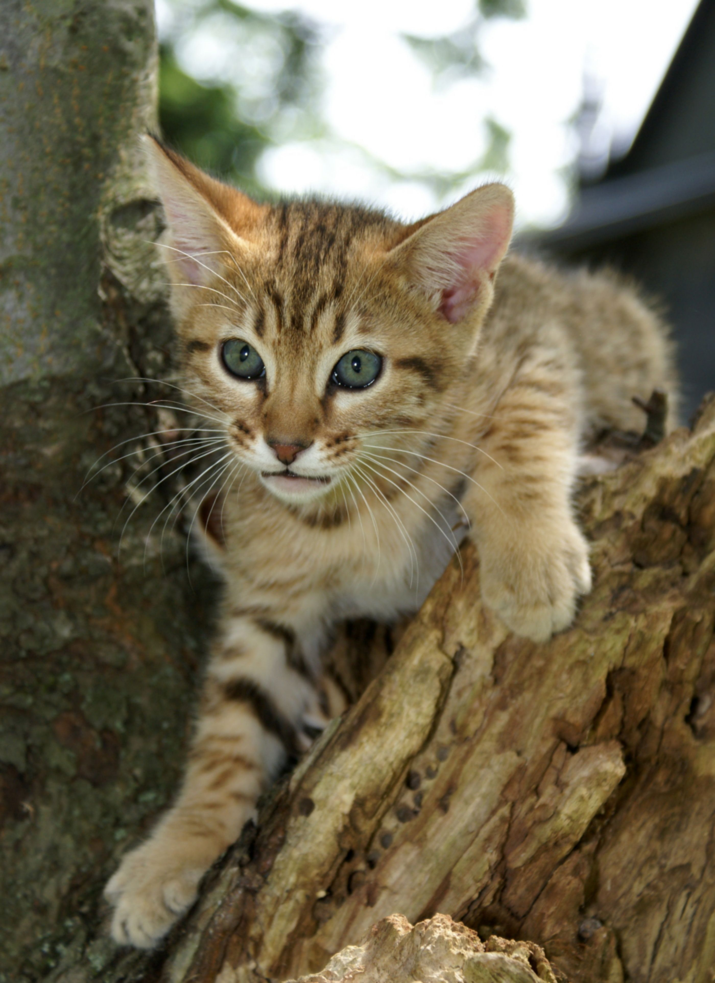 The Cheetoh Is A Breed Of Domestic Cat Derived From Crossings