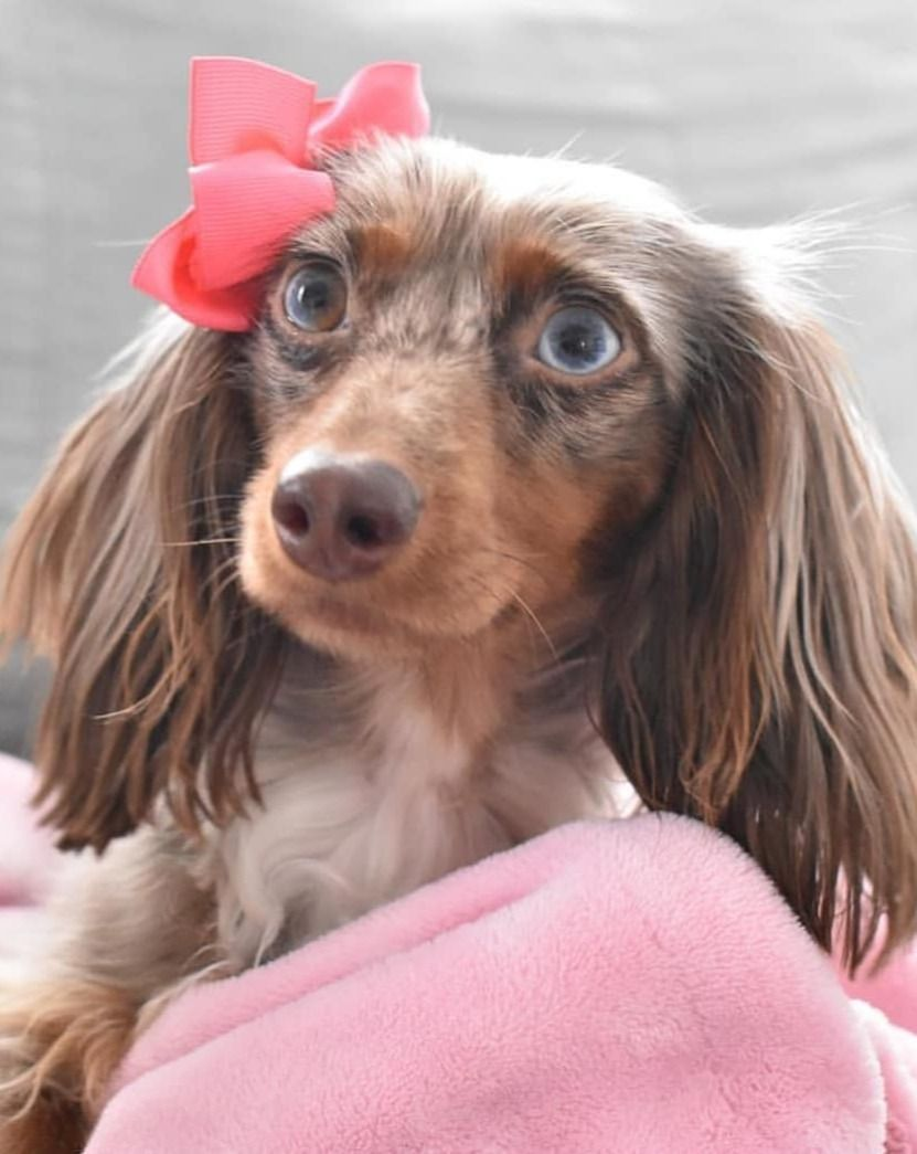 12 Amazing Reasons Dachshunds Are The Cutest Dogs On The Earth As