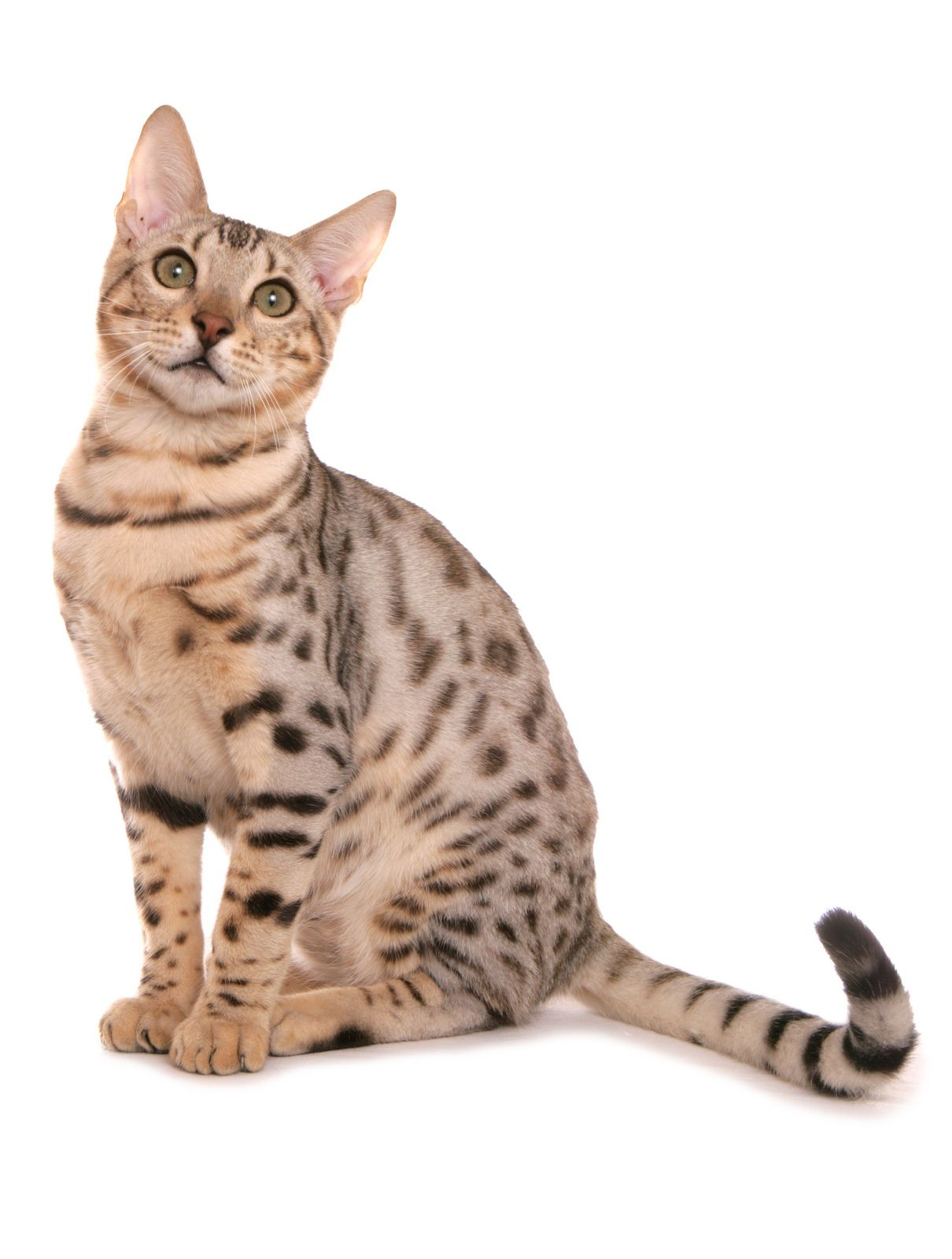 Bengal Cat Bengal cat kitten, Bengal cat, Hybrid cat